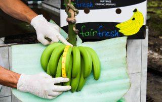 Midiendo el tamaño de los plátanos