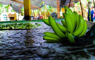 Recogiendo una mano de plátanos de la tina