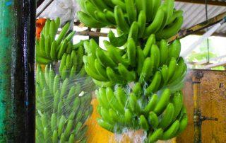 Lavando un racimo de plátanos